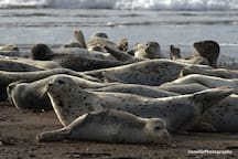 Harbor Seals at Taft Beach area.