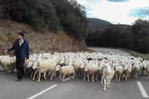 "Tradition local d'élevage. La transhumance passe tout près.  Local goat and sheep rearing tradition. T Taste the marvellous ""pelardons"" - local goats cheese."