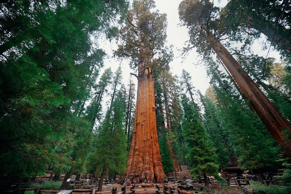 Beautiful Giant Sequoia Trees