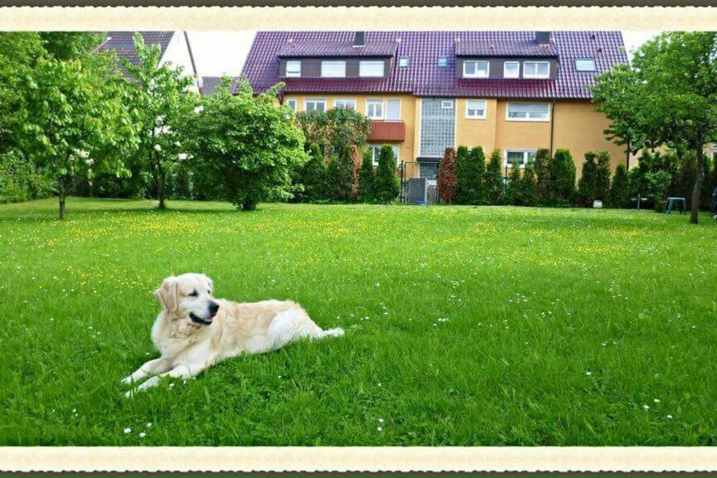 our dog Lucky (Golden Retriever) in our 2nd garden in front of our house,...the old garden view before year 2015.
