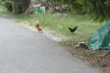 il gallo e la gallina sono liberi