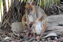 The red-legged Pademelon with joey.