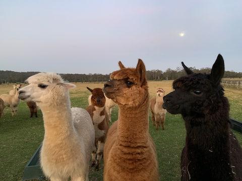 Farm stay with alpacas