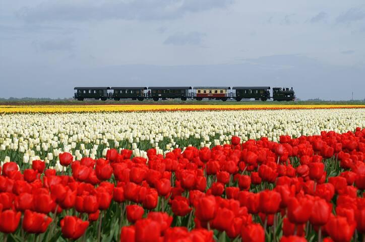 Met de stoomtrein in het voorjaar langs de tulpenvelden