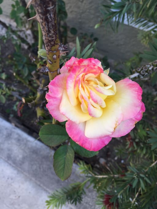 dope roses out front.