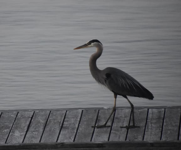 The birdwatching opportunities are bountiful at Flathead Lake Home. Here, a heron hunts for lunch on its dock.