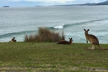 Kangaroos and ocean views at Emerald Beach.