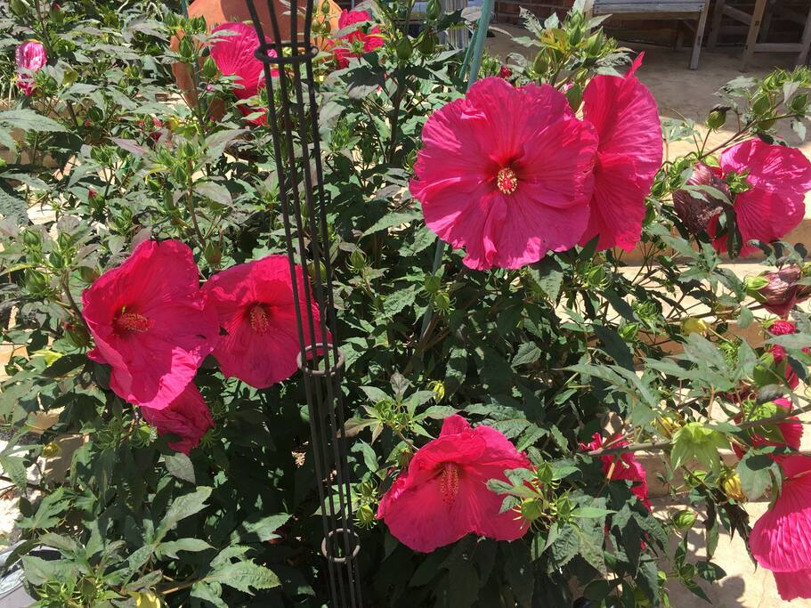 Come in summer to see the Texas-sized hibiscus!
