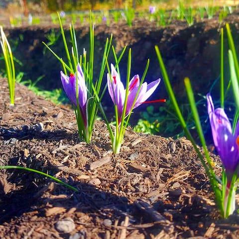 Saffron, our main crop