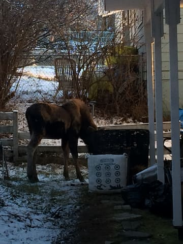 Moose wander through the neighborhood - this one is helping itself to our compost pile.
