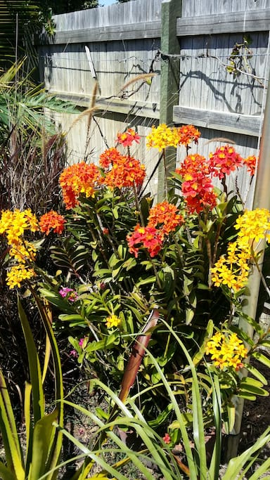 Crucifix Orchids in the garden
