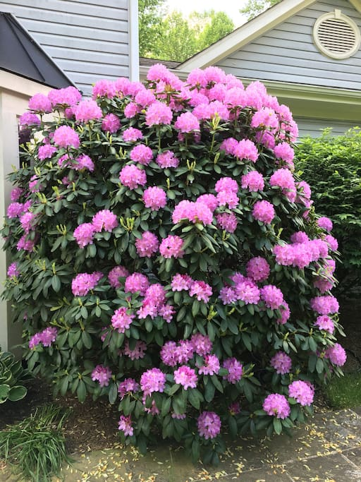 Rhododendron going crazy wild