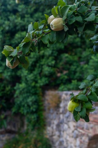 There are lot of quince trees around