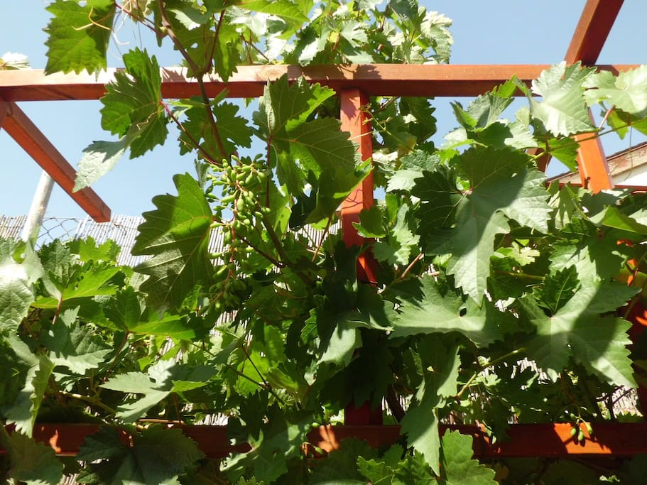Виноград.....