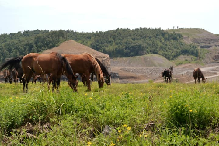Free-roaming horses on former coal land
