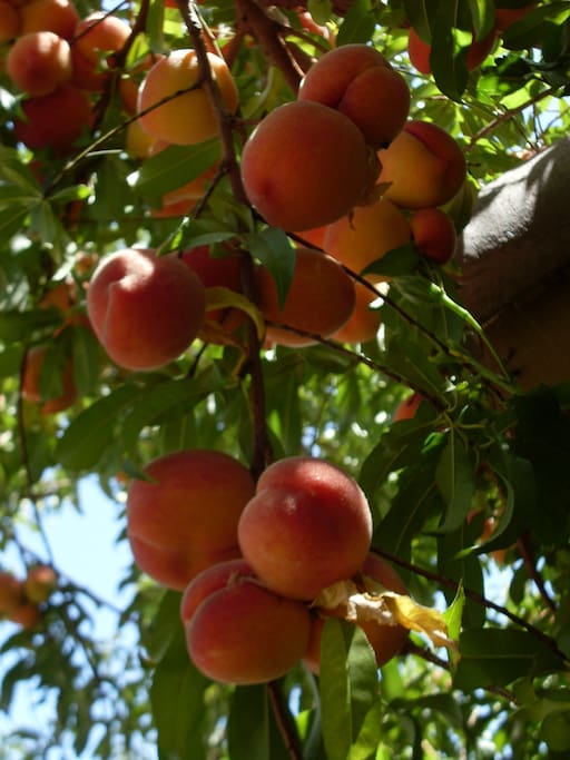 Last year sweet peaches crop in my front yard