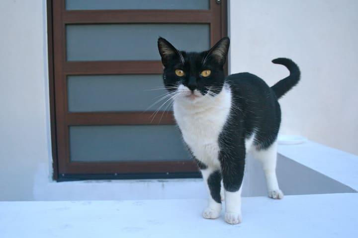 Marshmallow the Cat