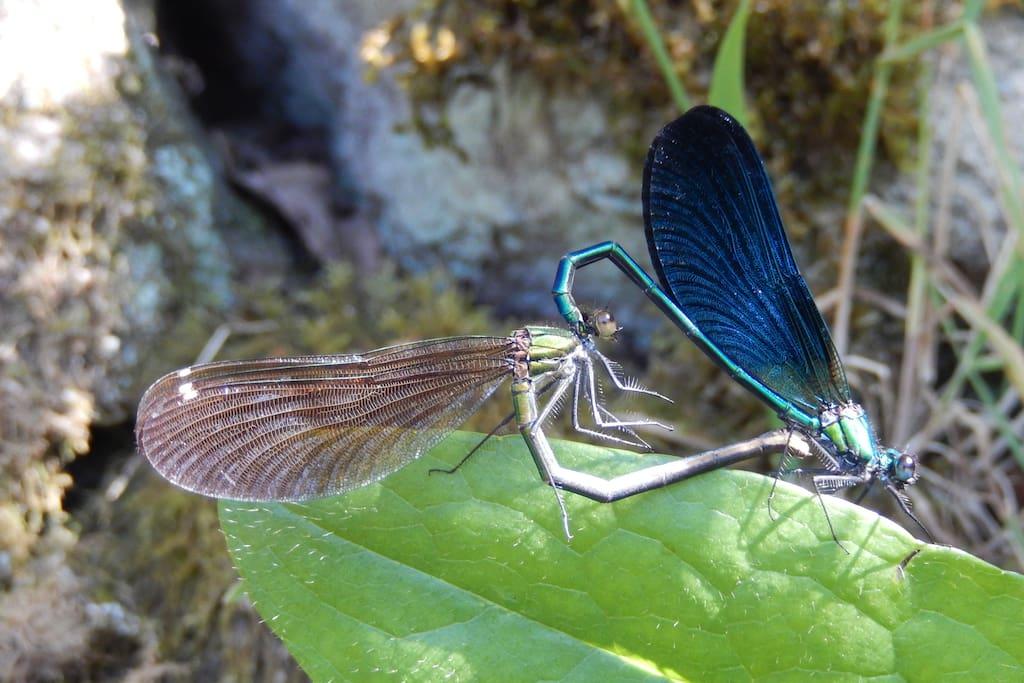 caloptéryx virgo, accouplement en bordure de La Vézère, fin juin