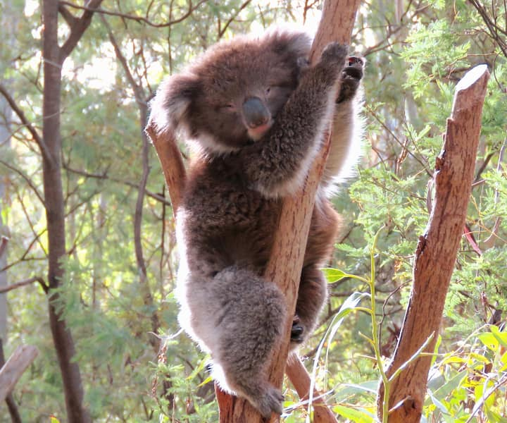 Koala in the Sanctuary