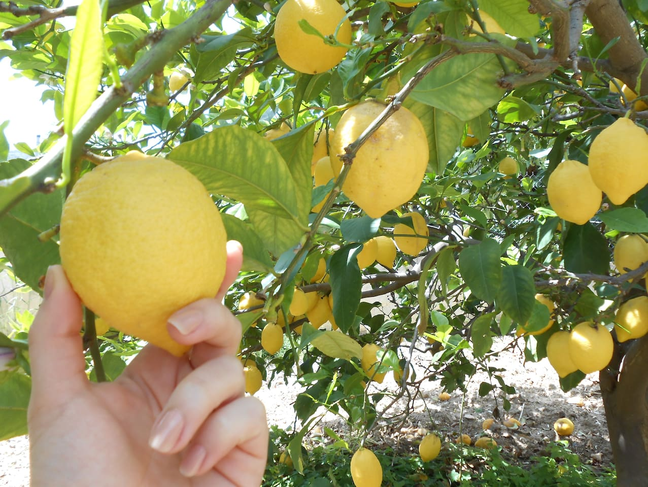 Try our fresh lemons from the garden, in a juice or tea!
