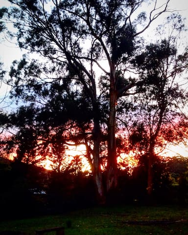 Ghost gums in the garden at sunrise.