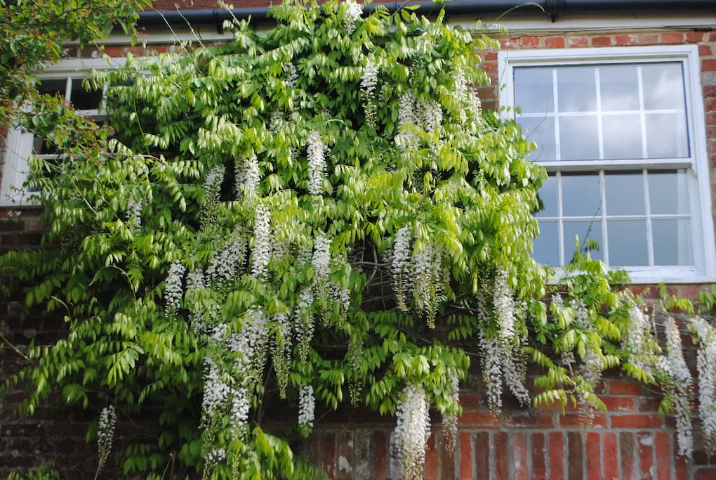 Wisteria on the old coach house
