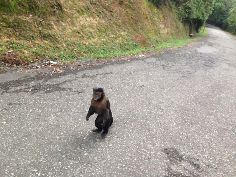 Macaco Prego  na Estrada do Sítio no Parque Nacional