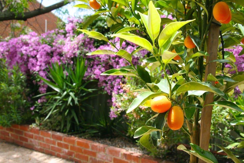 Cumquat Cottage really does have a cumquat tree  :)