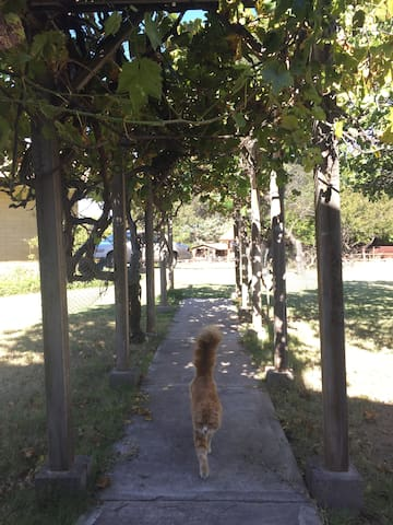 Grapevine-lined walkway. Currently not passable until pruning season.
