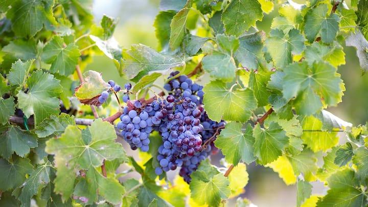 Grappolo d'uva Cannonau