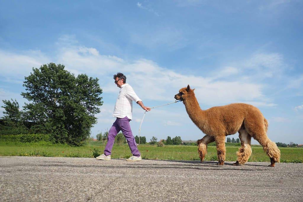 A passeggio con gli alpaca