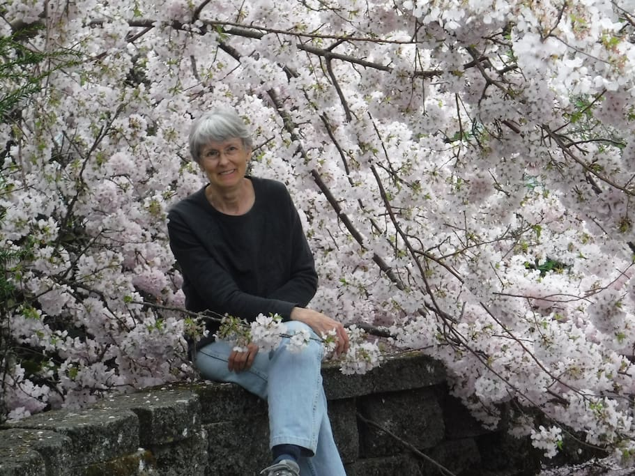 Host  next to a Northwest cherry tree in bloom.  Easter Sunday afternoon Columbia Gorge drive 2017.