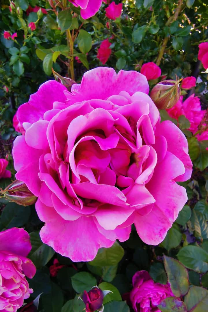 il roseto| the rose garden