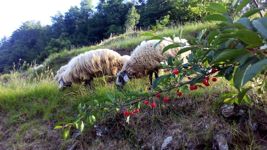 Esterno - le nostre pecore nel recinto