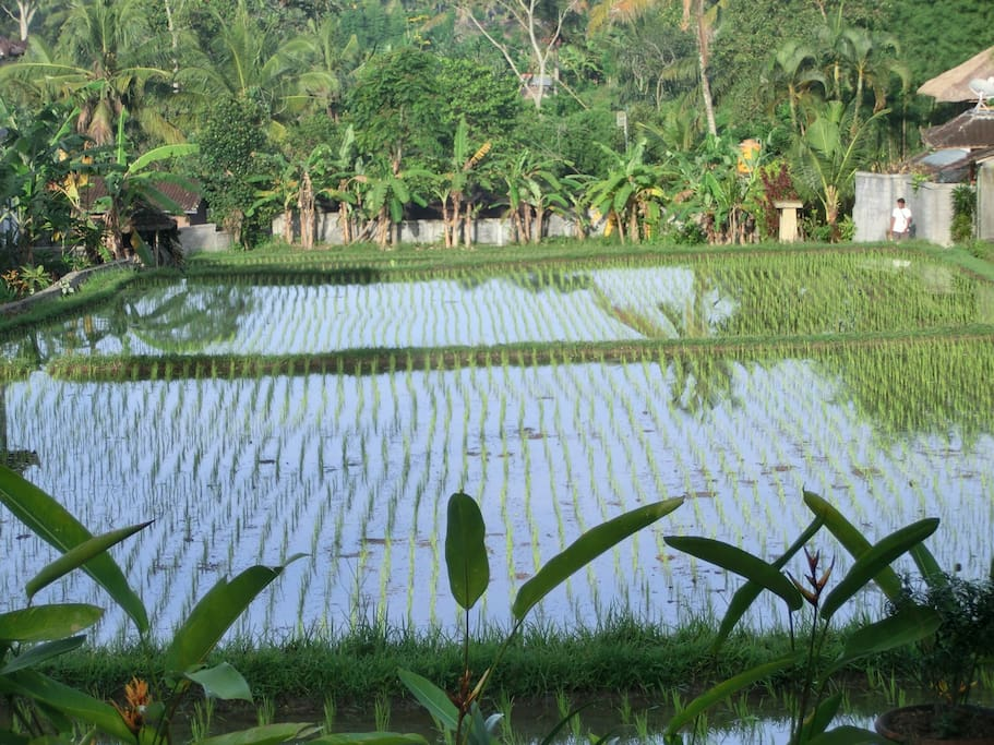 Ricefield view over the pool