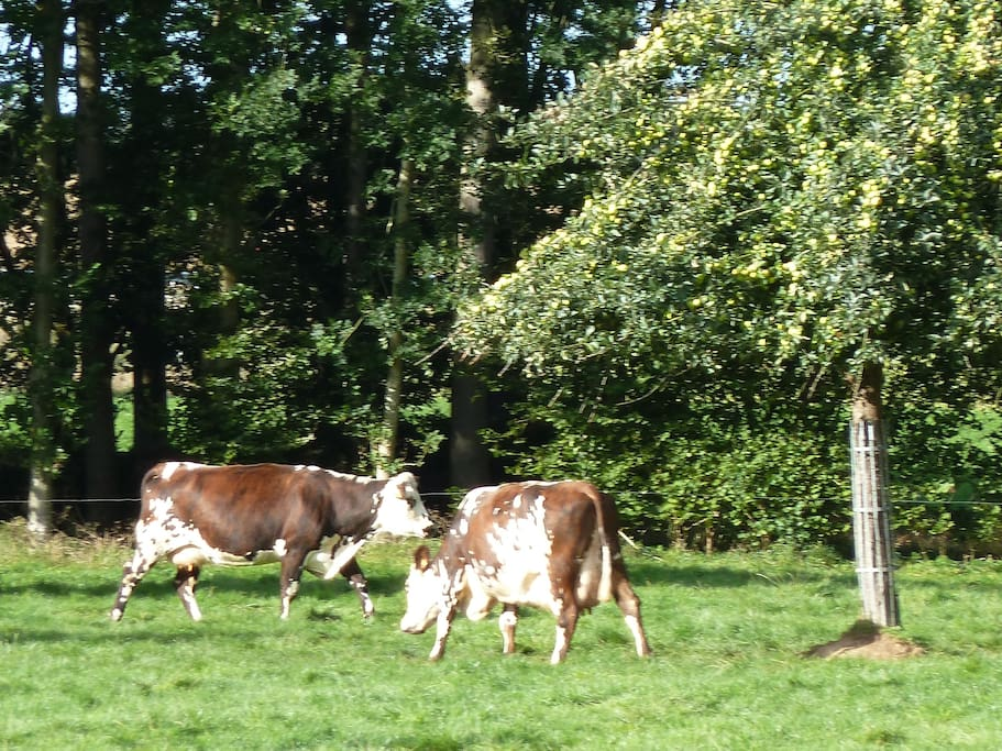 Nos vaches de race normande