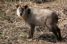 There are a lot of Japanese serow deer in Wakaho 若穂にはニホンカモシカがたくさんいます