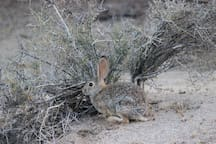 Lelu - tons of desert hares - photo taken from Back Porch - she is approx. 10 feet away