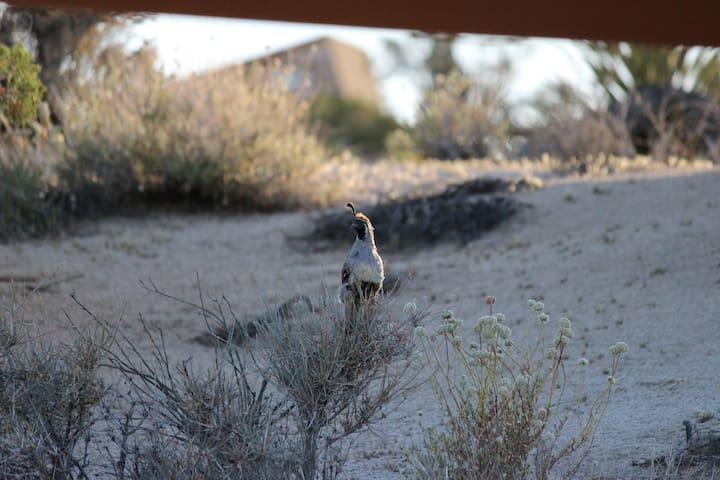 Beebop - the resident desert quail greets us each morning
