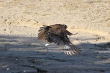 Hehu - one of 3 large birds that seems to have called this property home!