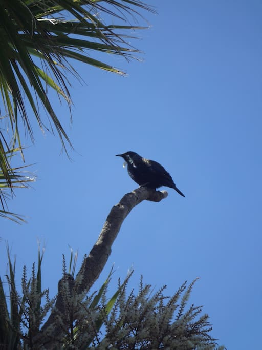 Our garden is full of native trees and shrubs, so we get plenty of birds visiting. This is a tui.