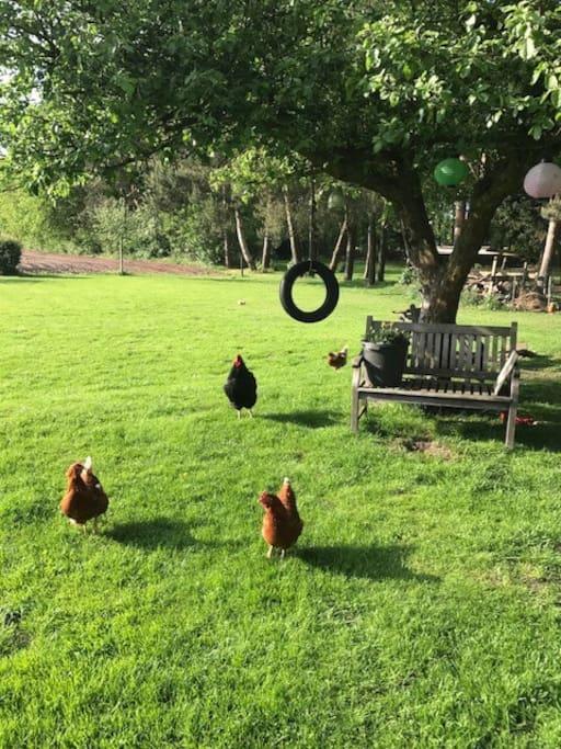 De kippen zorgen iedere dag voor de verse eieren