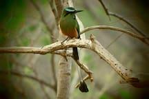 National bird of Nicaragua, mot mot, very common at the Casa Abierta