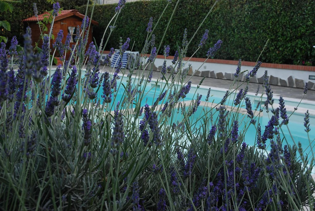 The lavander surrounding the jacuzzi pool.