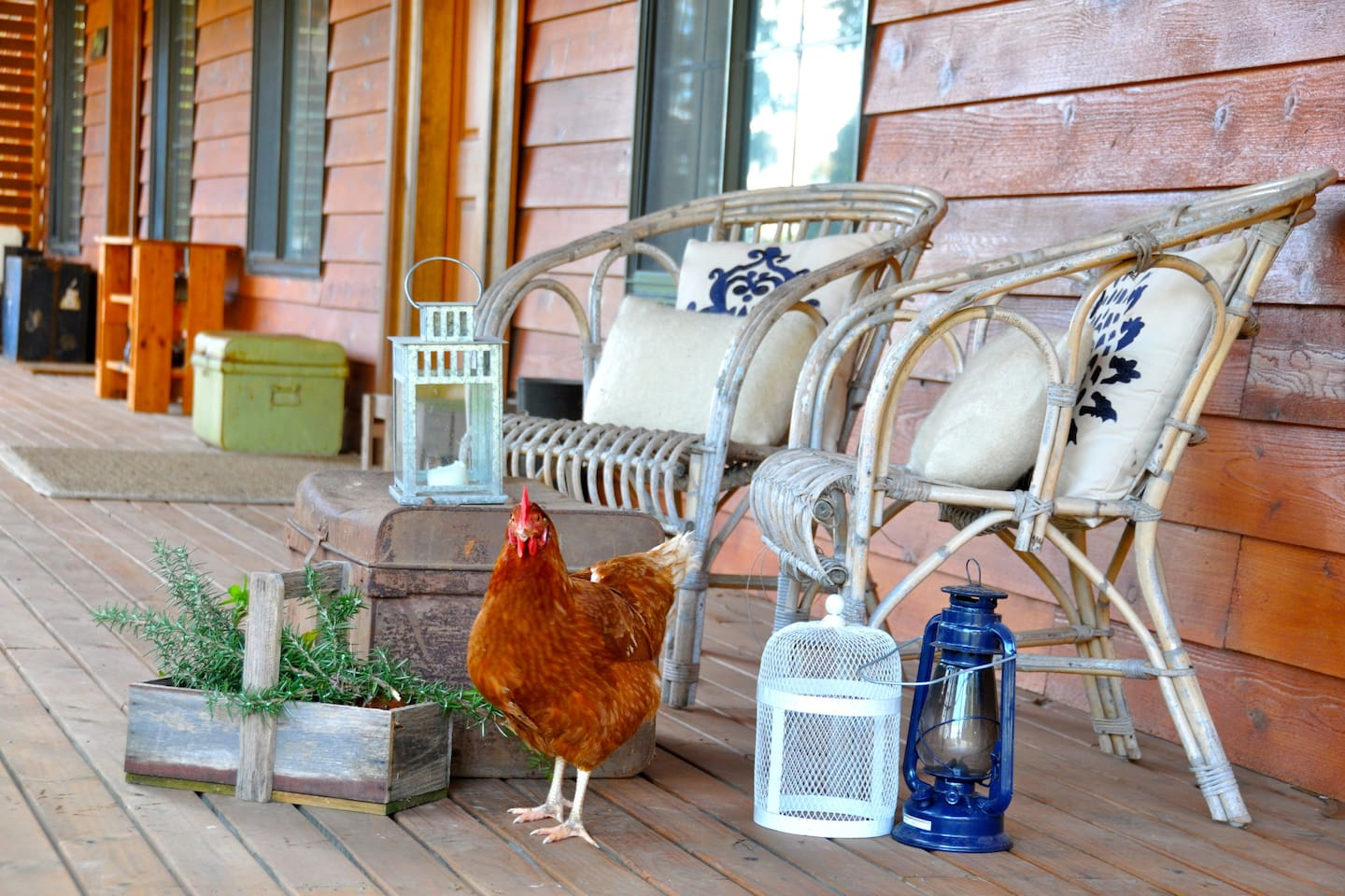 Resident chicken on front deck