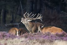 During the mating season (around Sept/Oct) you can hear the bellowing of the stags on most nights.