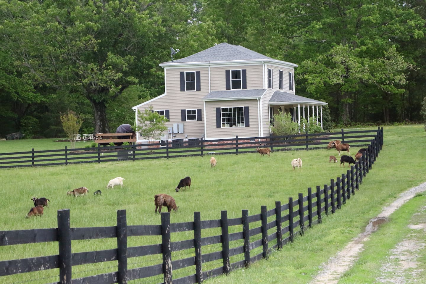 Goats are often in the pasture next to Airbnb house to entertain guests.