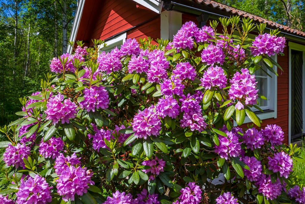 The Rhododendron outside the guesthouse like it here, too.