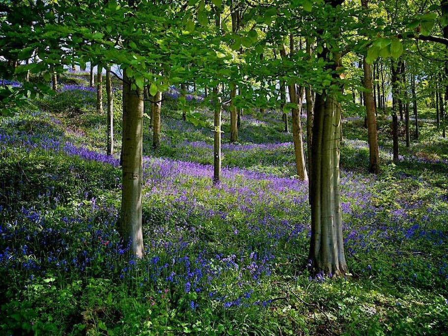 Lacock, bluebell woods