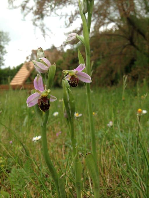 Au mois de mai/juin ; vous trouverez des orchidées sauvages dans le jardin…